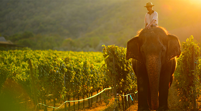 Elephant at work in Monsoon Valley vineyard, Thailand