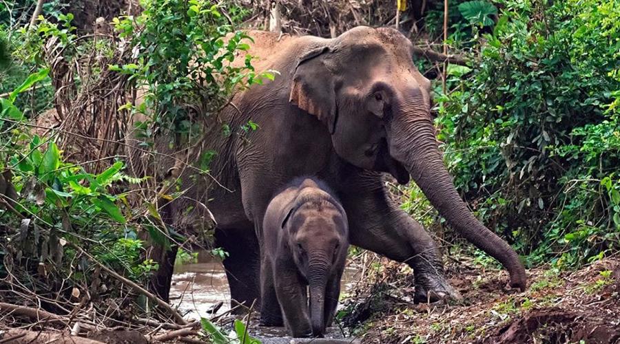 मंडलाओ में हाथियों को खुश करना