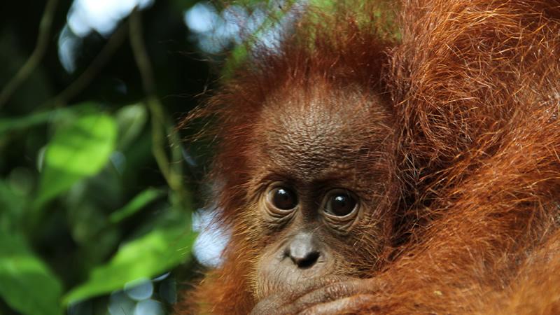 インドネシア、スマトラ - オランウータン